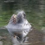 (Valencia)- Terra Natura Benidorm promueve la terapia  con leones marinos