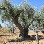 (Aragón) – Apadrina un olivo y salvarás un pueblo