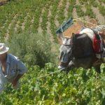 La uva pasa de Málaga, reconocida como Patrimonio Agrícola Mundial