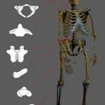Un estudio del CSIC señala la importancia de la endogamia en la extinción de los neandertales
