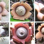 Descubiertas seis nuevas especies de 'estrellas de la tierra'