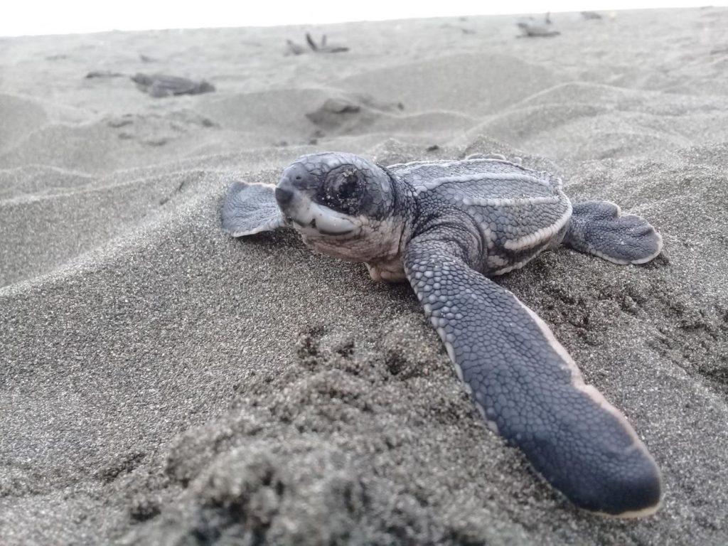 Investigadores del CSIC describen una nueva enfermedad emergente que amenaza a las tortugas marinas