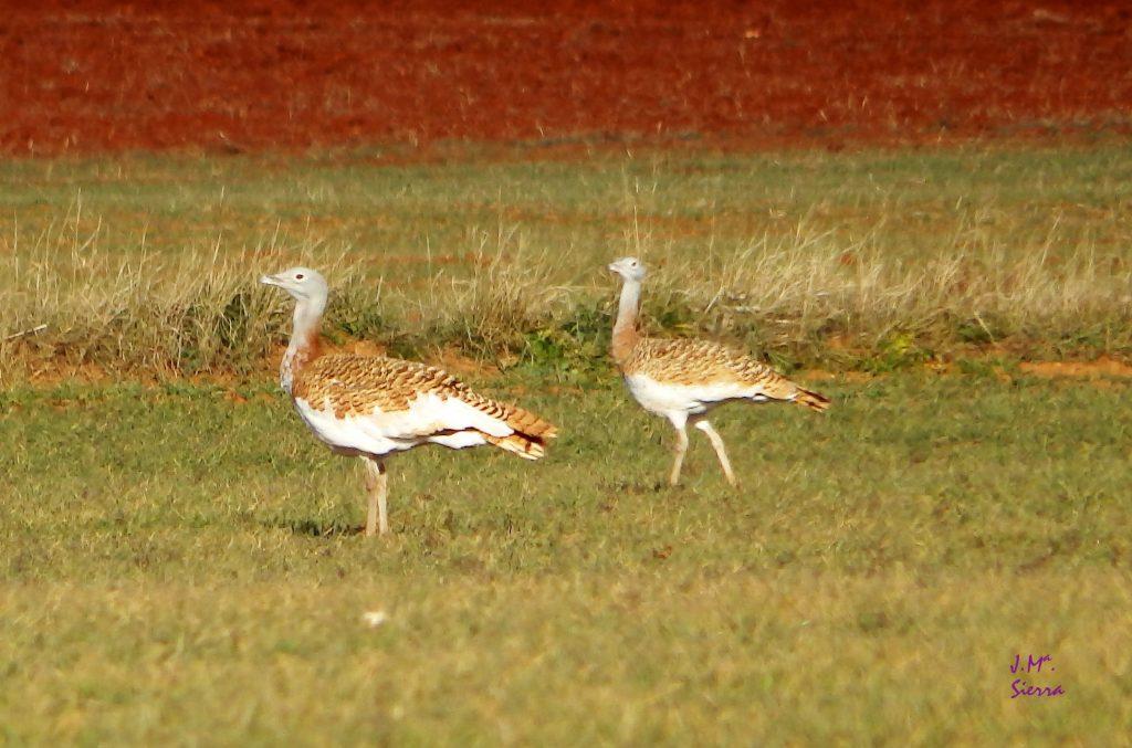 ESTEPASS: buscando la conectividad ecológica para la conservación de aves esteparias en el Campo de Montiel