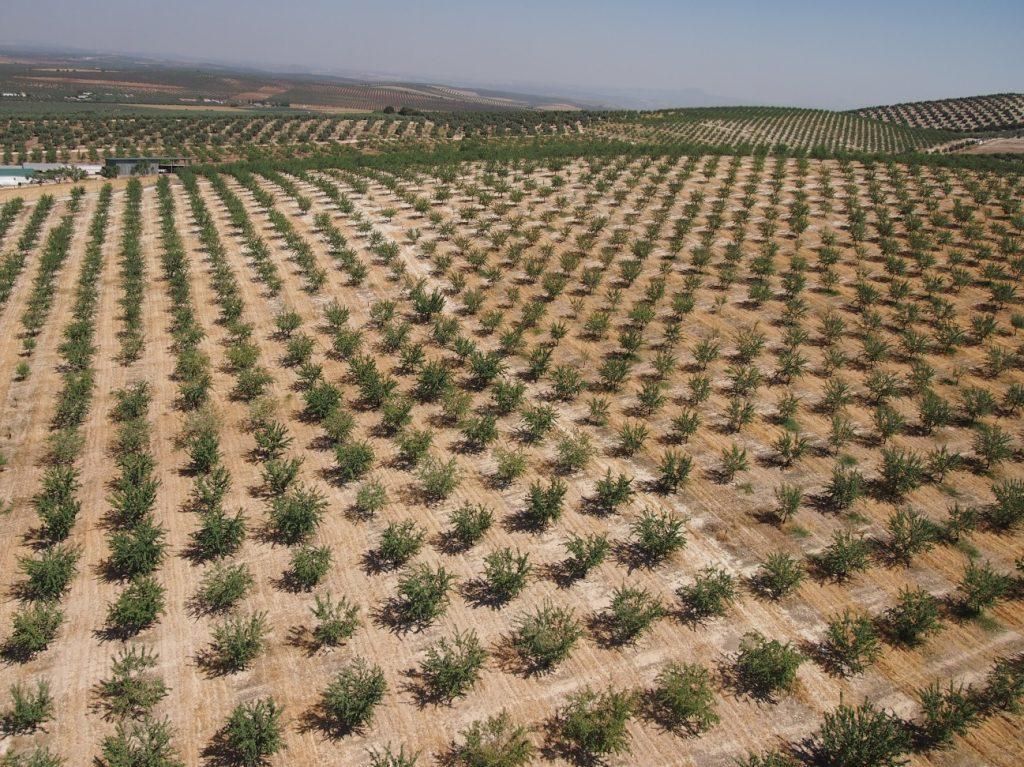 Un método con drones ideado por el CSIC hace más eficiente la selección de variedades de almendro
