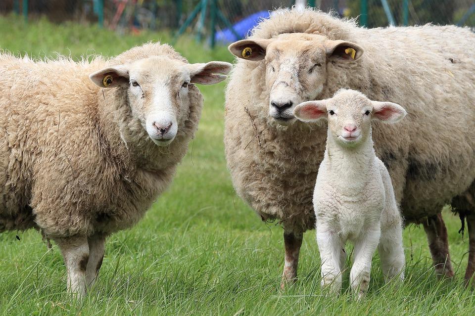 Logran estimular la defensa inmune antiviral en ovejas mediante un virus que causa enfermedades en ratones
