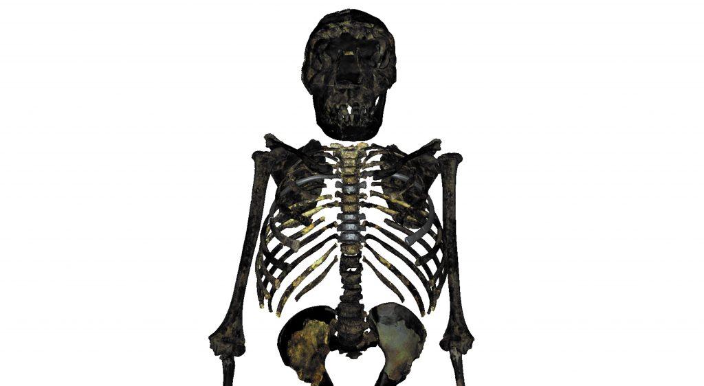 Un estudio revela que el Homo erectus era achaparrado y robusto