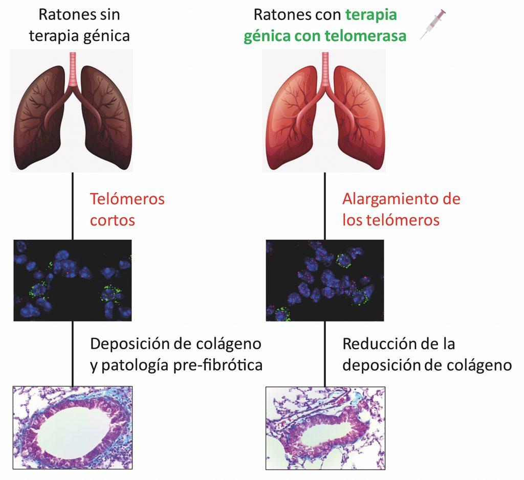 Investigadores del CNIO abren una vía hacia una futura terapia génica contra la fibrosis pulmonar asociada al envejecimiento
