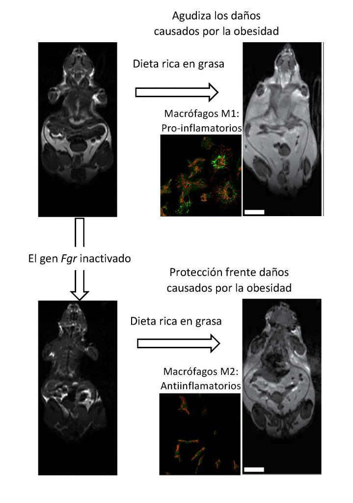 Descubren un mecanismo por el que el metabolismo de las células inmunitarias regula la obesidad
