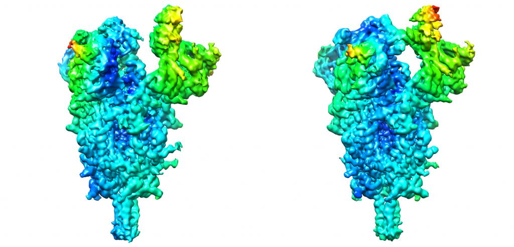 Un estudio científico identifica claves de la flexibilidad de la proteína que facilita el acceso del SARS-CoV-2 a las células