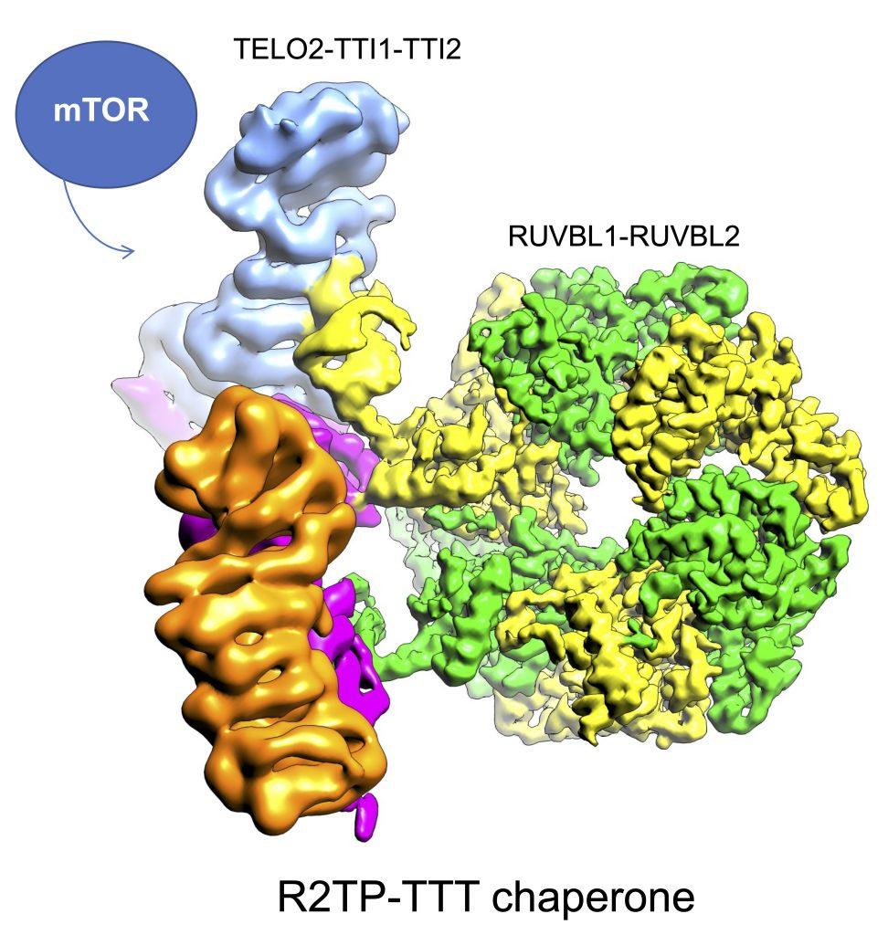 Investigadores ayudan a descifrar cómo funcionan las nanomáquinas moleculares que ensamblan y activan la gran proteína mTOR